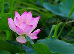Tin Sui Wai lotus 01