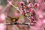 aIMG_8596 (長尾縫葉鶯 / Common Tailorbird)