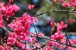 aIMG_8823  (暗綠繡眼鳥 -Japanese White-eye)