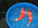 �o��O�ʦۨ����Y��|�CThey are also from the Open Sales of Sakai Koi Farm.