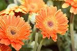 07032014_Hong Kong Flower Show_Africa Chrysanthemum00004