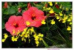 20032019_Sony A7 II_Hong Kong Flower Show_Varieties_Hibiscus00010