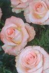 14032008_Hong Kong Flower Show_Rose00013