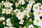 21032008_Flower Show00016
