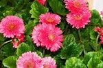 21032008_Flower Show00013