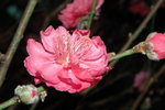 23012008_Festive Walk_Peach Blossoms00017