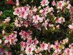 18032009_Home Garden Flowers00014