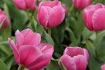 20032015_Hong Kong Flower Show_Tulip00039