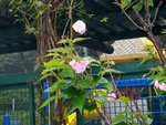 24042014_Sakura@Wanchai Gap Road00002