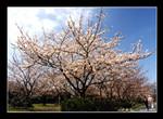 cherry blossoms @ ruins of fukuoka castle 福岡城跡