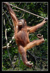 orang utan, the endangered species DSC_0143C1