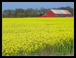 locally named as 'Raps', these flowers are grown to produce canola oil