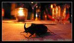 european rhinoceros beetle