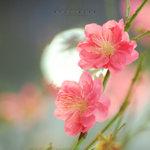 ����n��� �y�F�C �A��s�~2008 ��Peach Blossom. Tsim Sha Tsui. Lunar New Year 2008