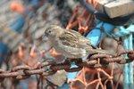 sparrow    20070522 DSC_6522