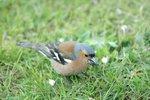 chaffinch male 20070524 DSC_7436