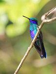 Sparkling Violetear, male@San Jorge Botanical Reserve