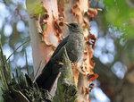 Great Thrush, female @San Jorge Botanical Reserve