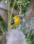 Southern Yellow-Grosbeak, female @San Jorge Botanical Reserve