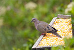 Eared Dove @San Jorge Botanical Reserve