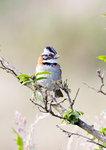 Rufous-collared Sparrow @Yanacocha Reserve