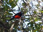 Scarlet-bellied Mountain-Tanager @Yanacocha Reserve