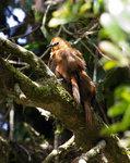 Rufous Wren  @Yanacocha Reserve