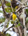 Spectacled Whitestart @Yanacocha Reserve