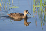 Pacific Black Duck @Lake Barrine