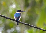 Forest Kingfisher @Lake Eacham