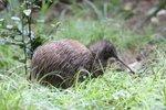 brown kiwi in wild