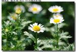 flower_019