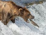 Brown Bear Fishing 02