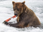 Brown Bear Fishing 04