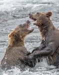 Bear Fight 09