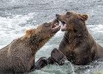 Bear Fight 05