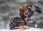 Golden Eagle Fighting 01