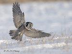 Hawk Owl A06