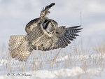 Hawk Owl A07