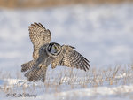 Hawk Owl A15
