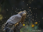 Honey Buzzard 11