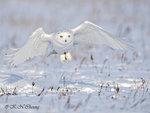 Snowy Owl A06