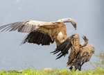 Vulture Fight 10