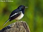 Oriental Magpie Robin (Male) �N� D5B_1109