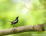 Oriental Magpie Robin (Female) �N� D8A_0706