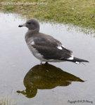 Dolphin Gull (juvenile) E1F_2636-600