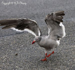 Dolphin Gull (breeding plumage)