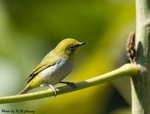 Japanese White-Eye �t��¸���Q