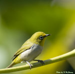 Japanese White-Eye tQ 