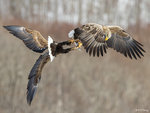 Eagle Fight 04